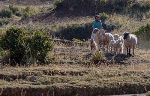 Sheep Herder on Amantani Island
