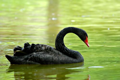 black swan on green water
